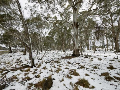 Snow covered ground under gum trees