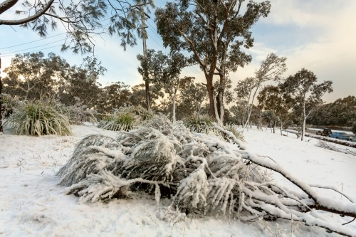 Snow covering a fallen tree in Leura, Blue Mountains Australia.  Snow and ice closed major roads