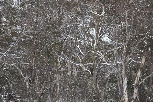 Snow gums with dusting of snow