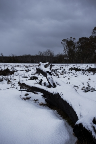 Snow settled on fallen tree