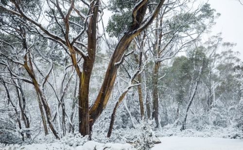 snowy landscape with gum trees