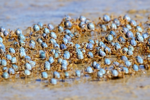 Army of soldier crabs marching the seashore at low tide.