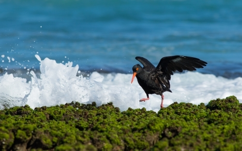 Sooty Oyster Catcher on the moss covered, rocky shoreline