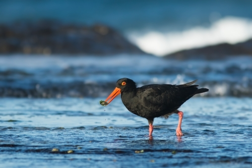 Sooty Oystercatcher with food in it's bill standing in the water