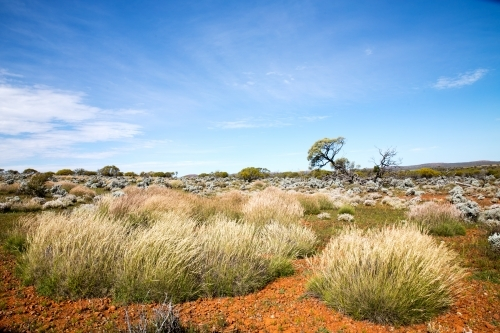 spinifex grass in outback landscape