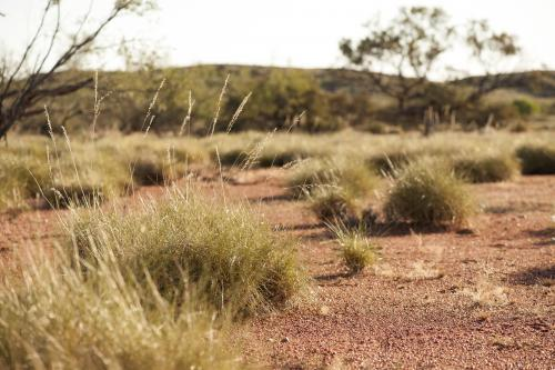 Spinifex plants on red dirt at ground level in early morning