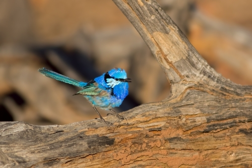 Splendid Fairy-wren on a log