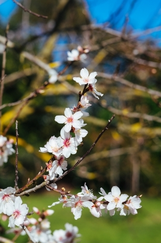 Spring blossom of fruit tree