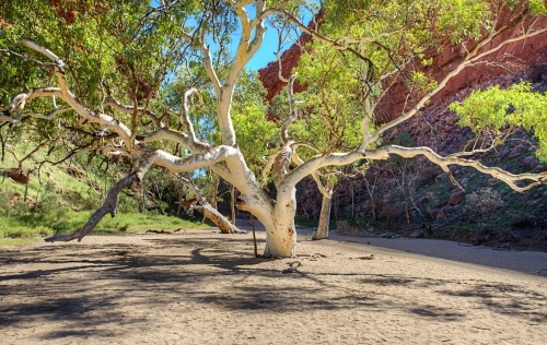 Stunning tree at Simpsons Gap
