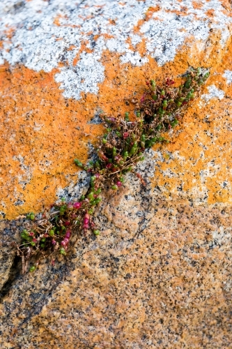 succulent growing from crack in lichen covered rock