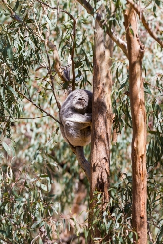 Sun dappled sleeping koala curled up in a eucalyptus tree
