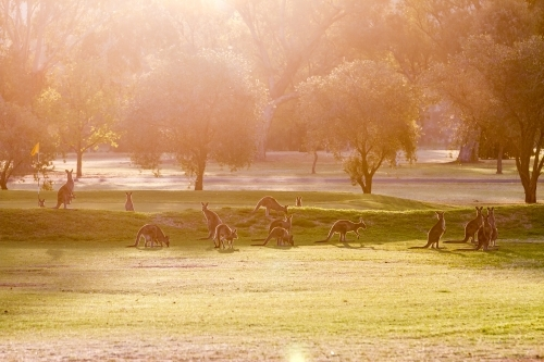 Sun flare view of grazing wallabies on a golf course in the evening golden hour