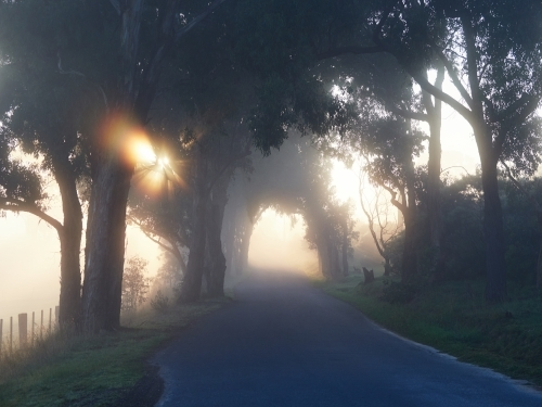 Sun Peaking Through Roadside Trees on Foggy Morning