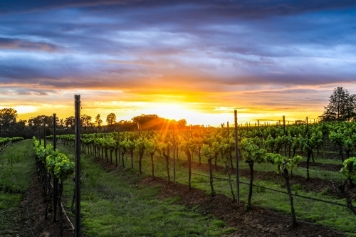 Sun rising over rows of grapevines with cloudy sky
