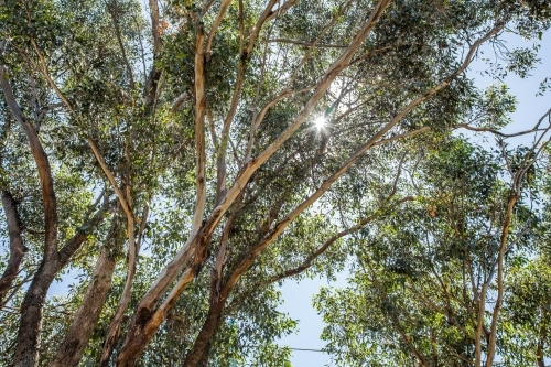 Sun shining through gum tree branches and leaves