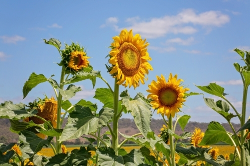 Sunflower fields in Queensland