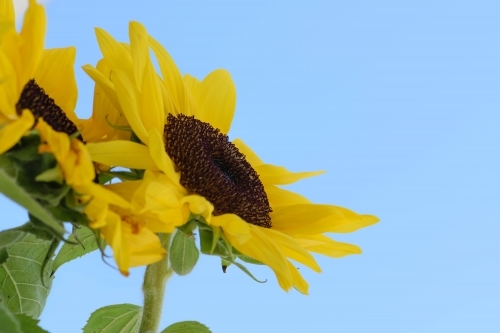 Sunflower with a pastel blue background