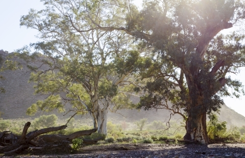 Sunlight shining through gum trees and dust