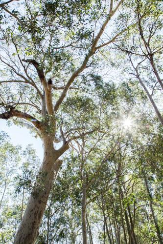 Sunlight shining through tall spotted gum trees in the bush