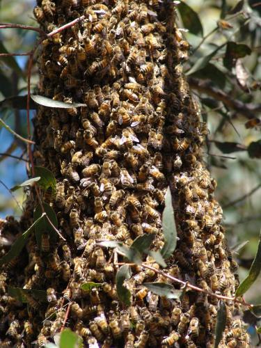 Swarm of bees on a tree branch