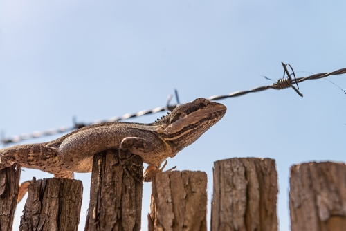 Ta Ta Lizard on fence