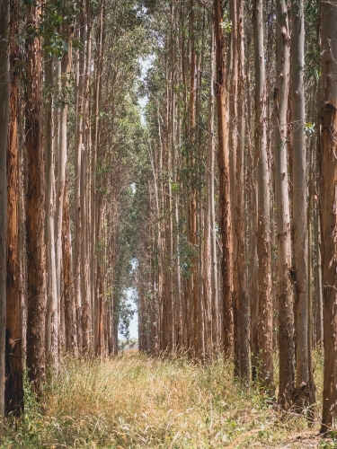 Tall thin blue gum trees growing in the plantation