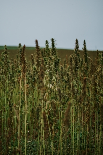 Tasmanian grown Hemp