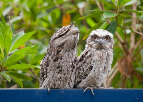 Tawny frogmouths standing on a sign