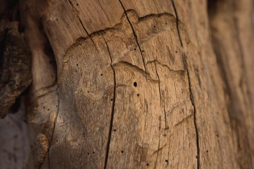 Termite carvings and wooden texture in a gum tree