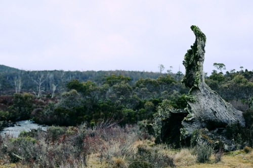 The base of a fallen tree poking up with up bushland behind