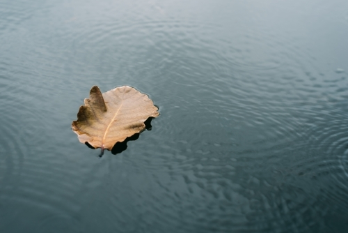 The leaves float on the water
