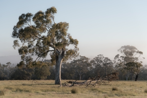 the resilient Australian ghost gum