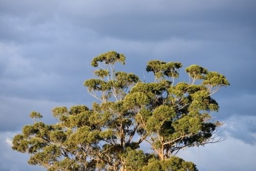 The top of a huge eucalyptus tree under storm clouds
