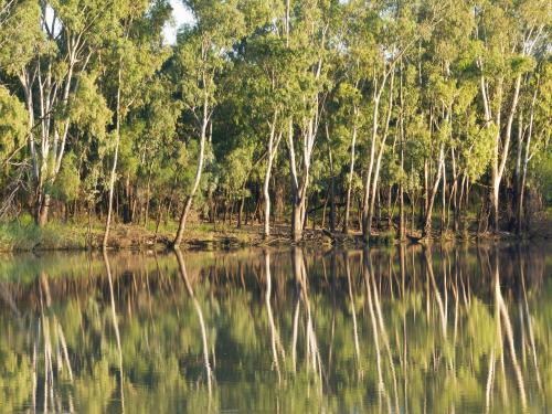 Thin gum trees reflected in a farm dam