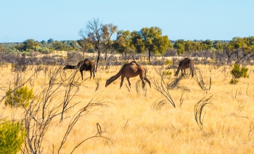 Three camels roam the outback of Australia