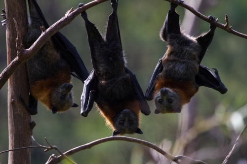 Three Fruit Bats or Flying Foxes
