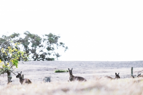 Three kangaroo heads peering above the dry grass on an open rural property in soft light
