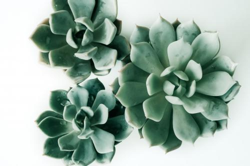 Three succulents isolated on a white background