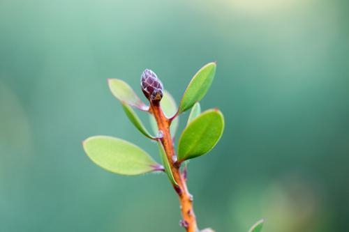 Tiny green bud on garden shrub with out of focus background
