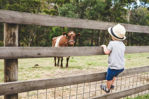 Toddler boy climbing a fence on a farm, looking at a cow