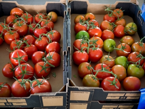 Tomatoes in cardboard boxes