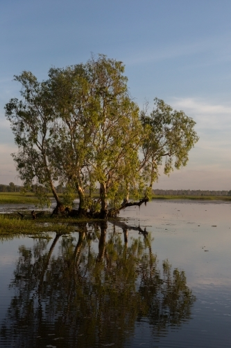 Tree and reflection at yellow waters, kakadu