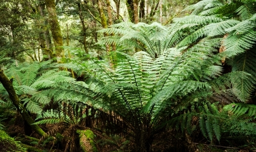 tree ferns on forest floor