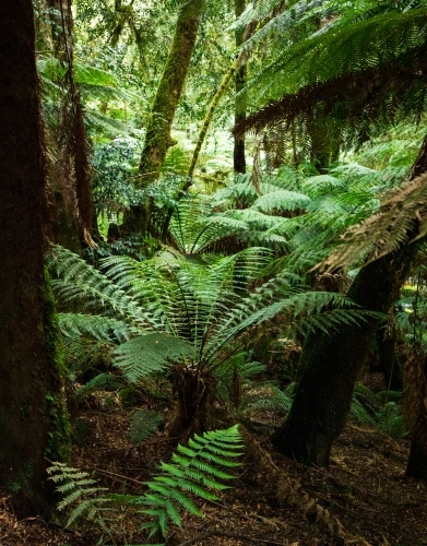 tree ferns on forest floor, vertical