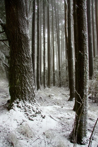 Tree trunks in a pine forest covered in winter snow
