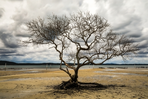 Tree with no leaves on sandy beach at low tide with cloudy sky