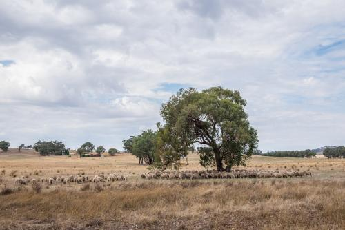 Trees and Sheep