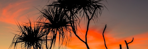 Tropical Pandanus Palm tree silhouetted against red sunset sky