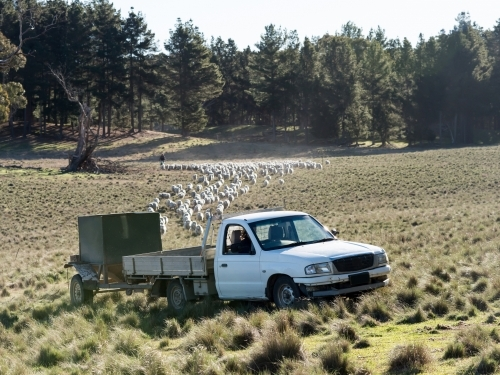 Truck with feed trailer being trailed by a mob of sheep