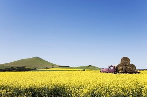 Canola field with old truck and hay bales